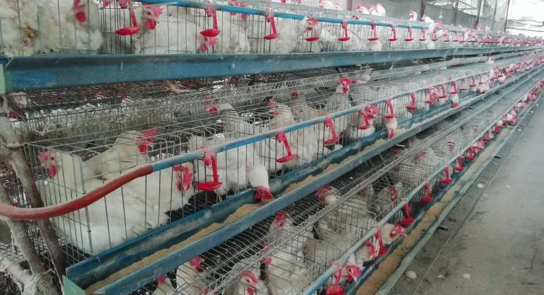 """两部门:切实解决家禽水产业""""卖难""""、产品积压等问题"""