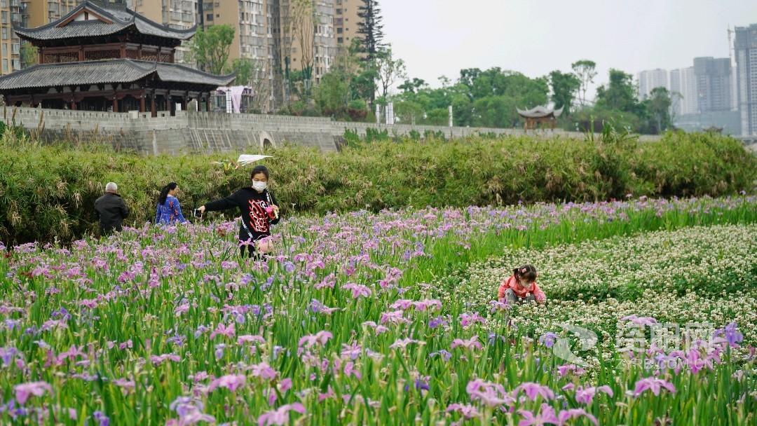 """""""打卡""""胜地风光美!资阳城区沱西滨江景观带花开如海"""