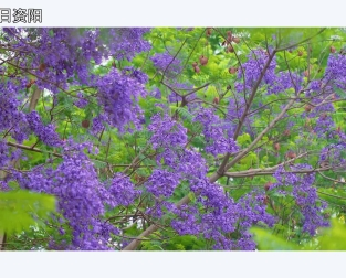 微視頻資(zi)陽夏天(tian)的浪(lang)漫 藍花楹溫柔盛開