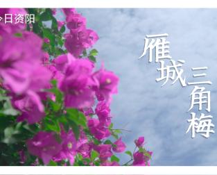 微視頻夏(xia)日里雁城街(jie)頭怒放的三角梅