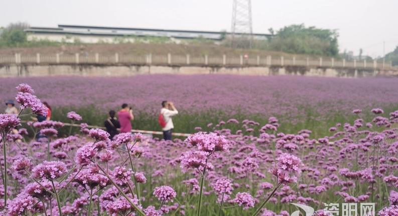 这个周末,一起来安岳这片紫色花海打卡吧!