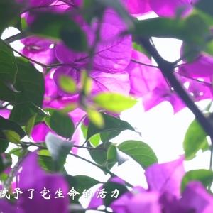 微视频  美  雁城九曲河三角梅花廊