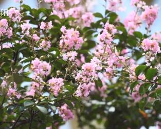 微视频||繁花满枝!紫薇花扮靓雁城